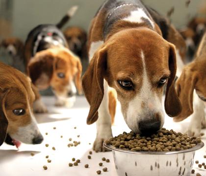 Beagles eating