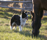 Border collie with horse