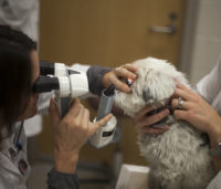 WCVM ophthalmologists will offer free eye exams to certified service animals in May. Photo: Christina Weese.