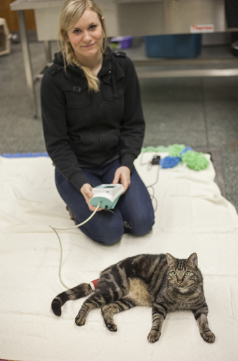 Graduate student Jennifer Briens demonstrates how she collects blood pressure readings from the study's cats. Photos: Christina Weese.