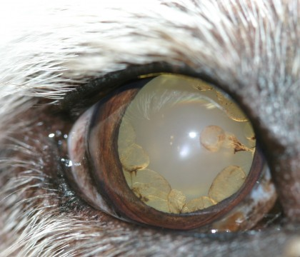 Pigmentary Uveitis Remains A Mystery Companion Animal
