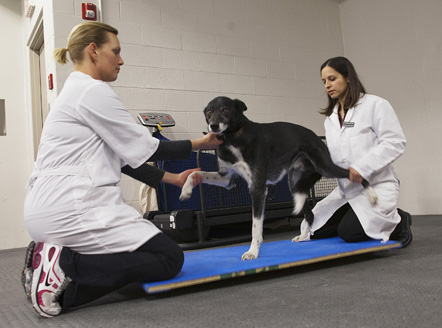 Dr. Romany Pinto (right) helps Timber stretch in the WCVM Veterinary Medical Centre's rehabilitation clinic. Photo: Christina Weese.