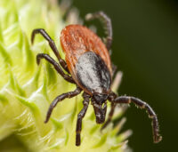 Closeup of tick