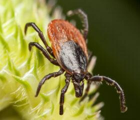 Closeup of tick